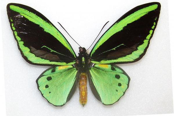 Common green birdwing butterfly