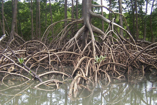 Stilt roots of a Rhizophora mangrove tree captured on a small river in Salinas - Pará - Brazil
