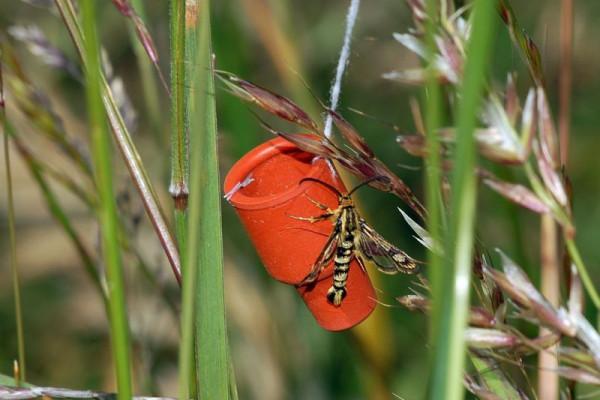 Sesiidae, Chamaesphecia empiformis (det. Andreas Lange) on pheromone trap