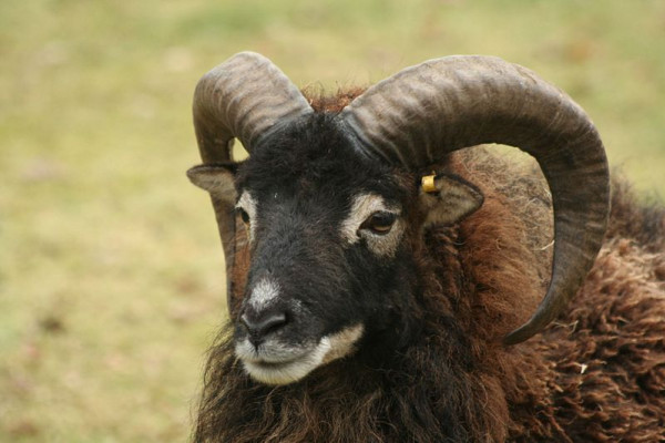 Adult Male Soay Sheep