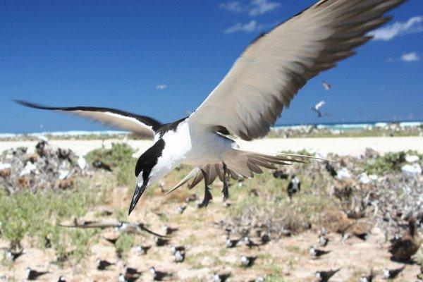 Sooty Tern Onychoprion fuscatus (syn. Sterna fuscata) flying in colony on Tern Island, French Frigate Shoals
