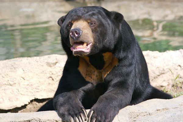 Sun Bear in captivity at the Columbus Zoo, Powell Ohio