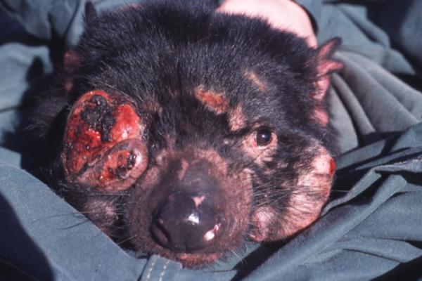 Devil Facial Tumour