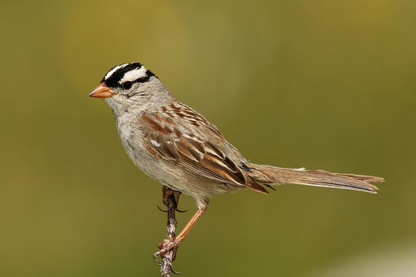 A white-crowned sparrow