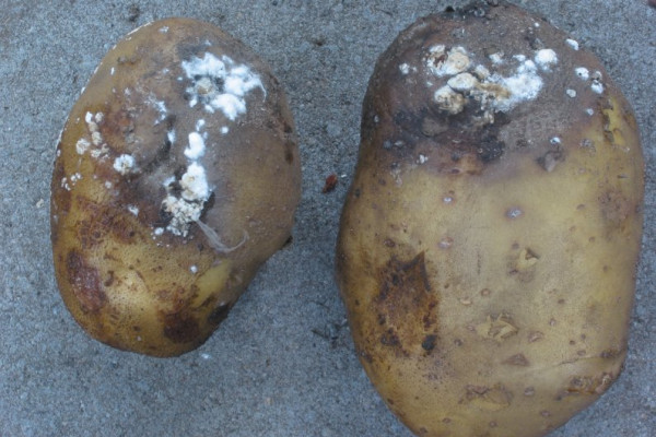 Potato with Blight