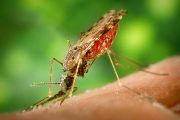 A female Anopheles albimanus mosquito feeding on a human host and becoming engorged with blood.