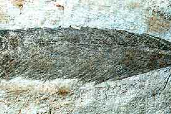 Fossilised feather of Archaeopteryx lithographica