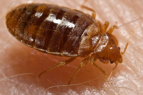 """A bed bug nymph (Cimex lectularius) as it was in the process of ingesting a blood meal from the arm of a """"voluntary"""" human host"""