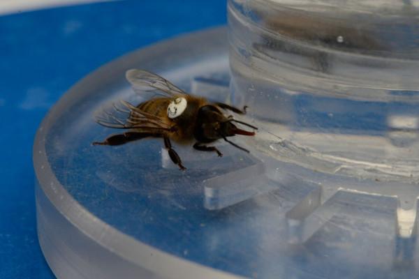 Honeybee feeding on nectar