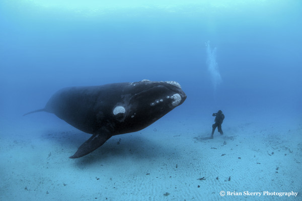 Encounter with a Southern right whale, by Brian Skerry (c)