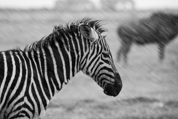 Zebra in a storm