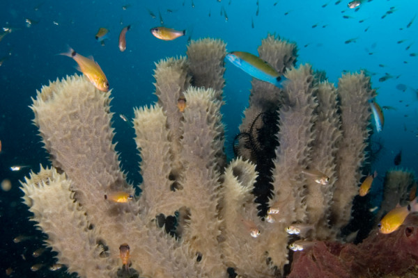 Callyspongia sp. (Tube sponge) attracting cardinal fishes, golden sweepers and wrasses.