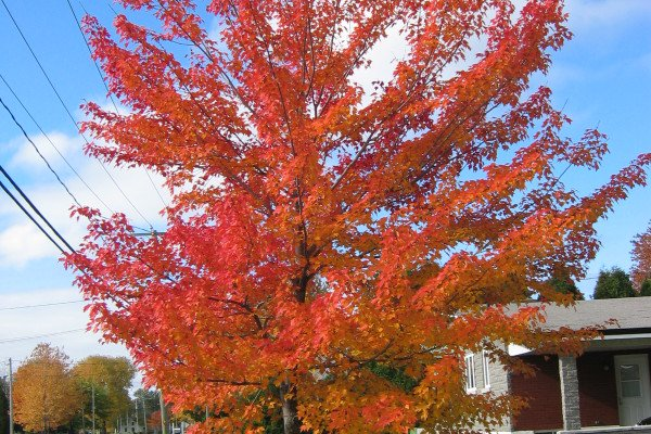 A Canadian Maple tree