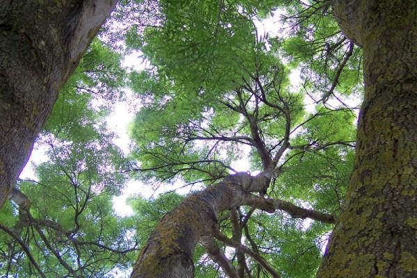 Woodland canopy