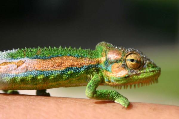Cape Chameleon