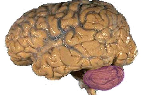 A picture of a brain with the cerebellum in purple