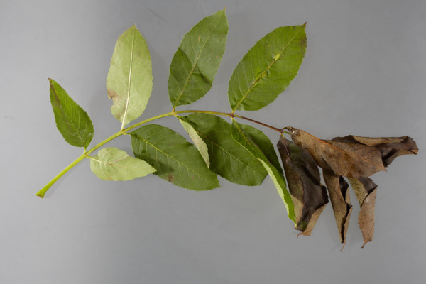 Symptoms of Chalara ash dieback. A fungal disease affecting the ash trees of Europe. Picture shows wilting of leaves caused by necrosis of the rachis.