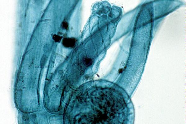 Chara algae