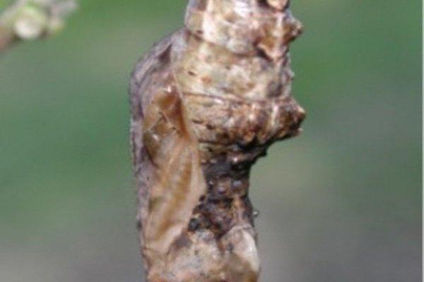 Chrysalis of Gulf Fritillary, (Agraulis vanillae)