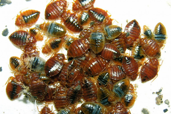 Blood-fed Cimex lectularius bed bugs (Note the differences in color with respect to digestion of blood meal)