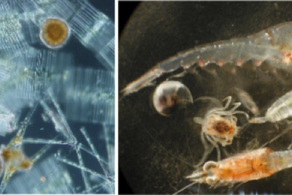 A variety of plants (phytoplankton, left) and animals (zooplankton, right) that fill the oceans. The largest of the creatures in these pictures is less than 1mm long.