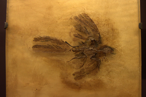 Fossilised Parargarnis - an insectivorous bird