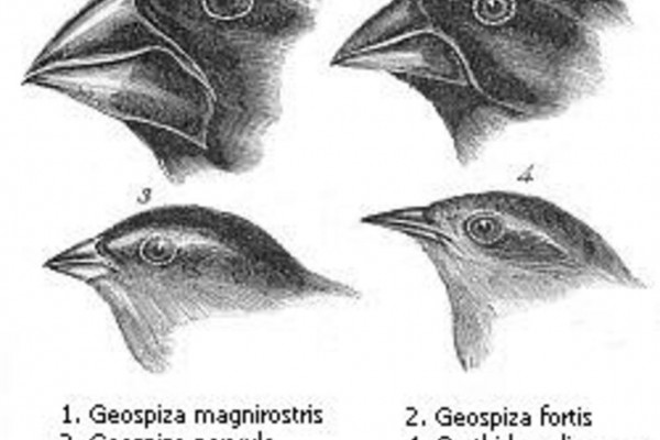 Darwin's finches or Galapagos finches. Darwin, 1845. Journal of researches into the natural history and geology of the countries visited during the voyage of H.M.S. Beagle round the world, under the Command of Capt. Fitz Roy, R.N. 2d edition.