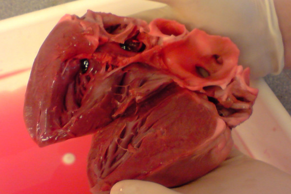 A dissected pig heart