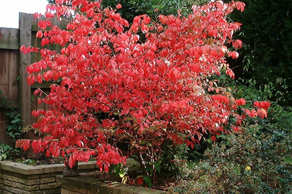 Euonymus alatus compactus in autumn colour