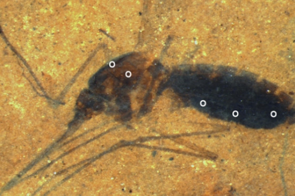 Fossil Culiseta species female mosquito. Time-of-flight secondary ion mass spectrometry (ToF-SIMS) analysis sites. White dots indicate areas on the abdomen and thorax were analyzed.