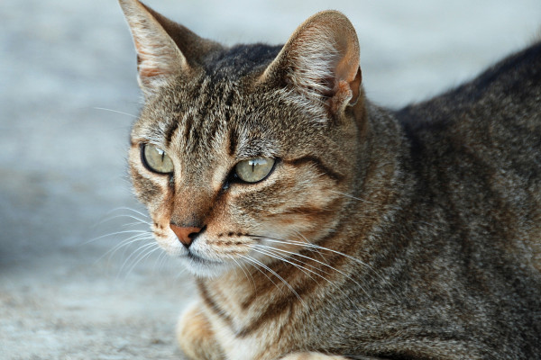 Portrait of a tabby queen (Domestic cat, Felis silvestris catus)