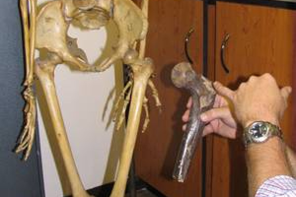 Professor Lee Burger comparing a giant fossil femurs to that of a modern-day South African female.