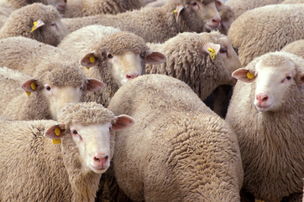 Flock of sheep. These particular sheep belong to a research flock at the US Sheep Experiment Station, Idaho