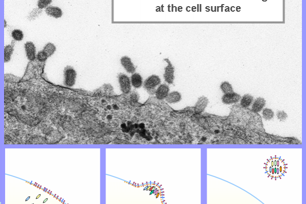 Influenza A Virus assembling at the cell surface