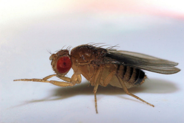 Fruit fly - drosophila