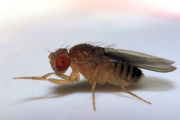Fruit fly - drosophila