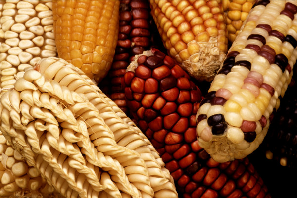 To increase the genetic diversity of U.S. corn, the Germplasm Enhancement for Maize (GEM) project seeks to combine exotic germplasm, such as this unusually colored and shaped maize from Latin America, with domestic corn lines.