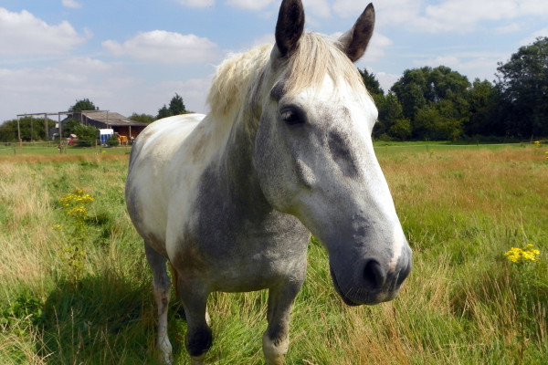 {{Information | Description = Third horse at Lower Green Farm, Ickleford. Herts GOC's walk in Ickleford, Holwell, Pirton, Oughtonhead and the surrounding countryside, 11 August 2012. | Source =...