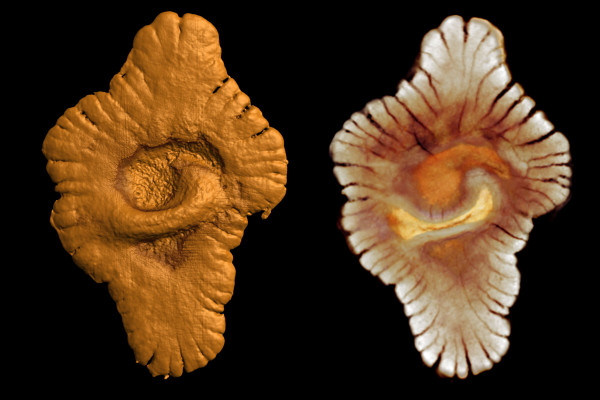Virtual reconstruction (via microtomography) of the outer (left) and inner morphology (right) of fossil specimens from the Gabonese site Credit: ©El Albani - Mazurier