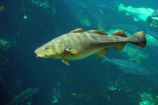 Cod (Gadus morhua)