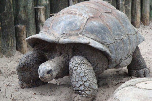 A Galápagos Giant Tortoise