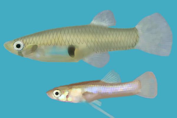 Mosquitofish - Gambusia holbrooki. Female (up), male (down)