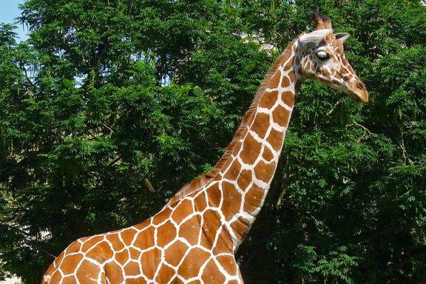 Giraffe - Giraffa camelopardalis reticulata