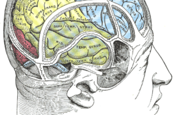 Drawing of a cast to illustrate the relations of the brain to the skull. (Superior temporal gyrus labeled at center, in green section.)