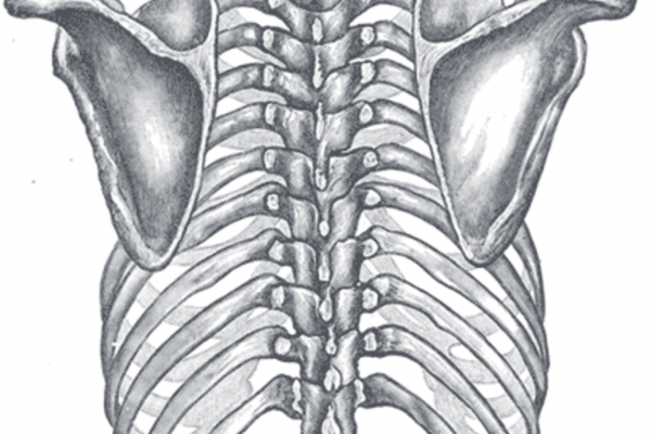Orientation of the rib cage on the vertebral column - Posterior view of the thorax and shoulder girdle