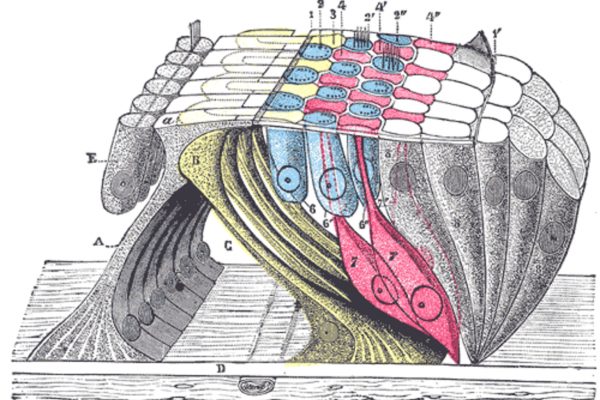 The organ of Corti (or spiral organ) is the organ in the inner ear of mammals that contains auditory sensory cells, or \hair cells.\
