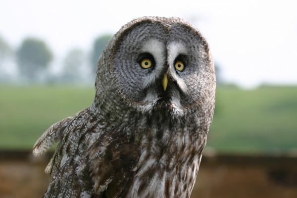 Great Grey Owl by Paul Lewin
