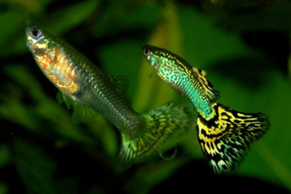 Male and female guppies (Poecilia reticulata)