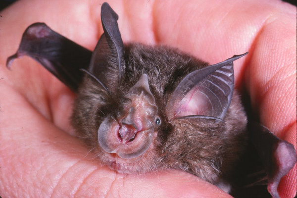 Eastern Horseshoe Bat - Rhinolophus megaphyllus