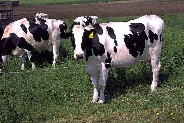 Fresian (Holstein) Cows